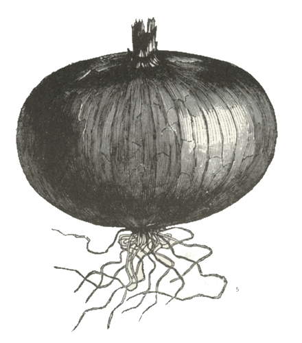 Drawing of an onion.